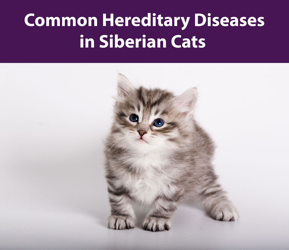 Common Hereditary Diseases in Siberian