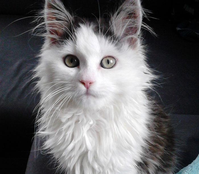 Siberians: the Hypoallergenic Cat