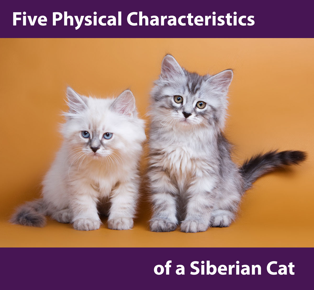 Siberian breed of cats: photo, description, character