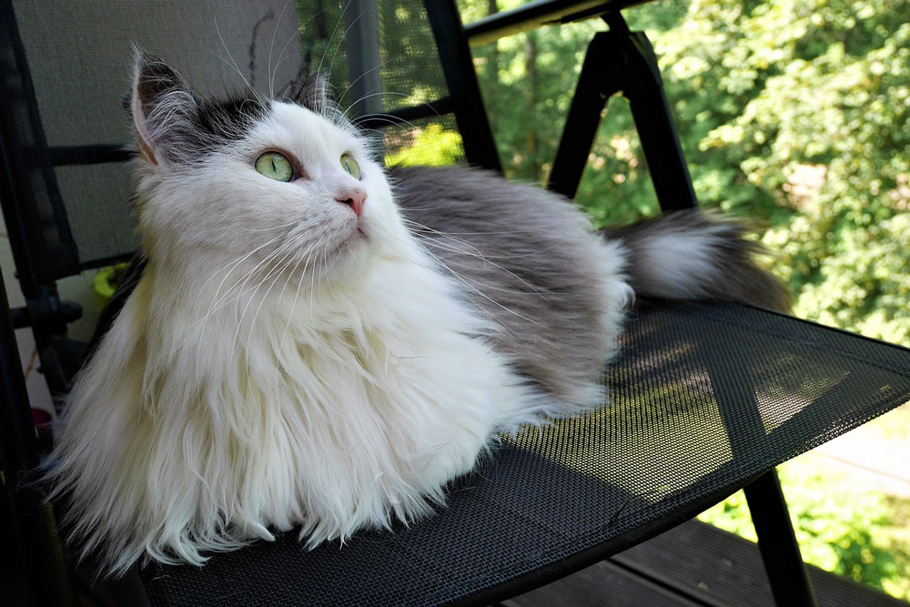 Siberian Cats and Shedding