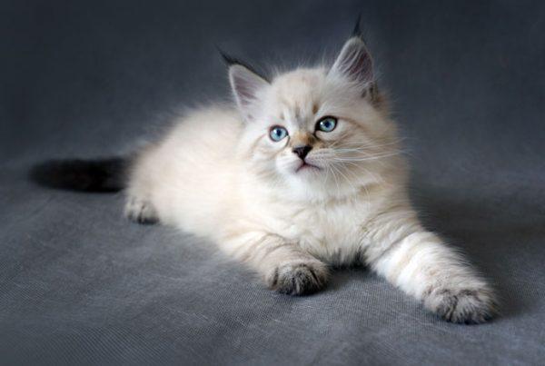 Identify a Siberian Cat