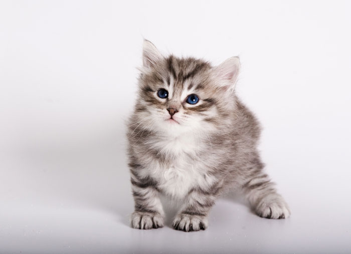 Five Common Hereditary Diseases in Siberian Cats