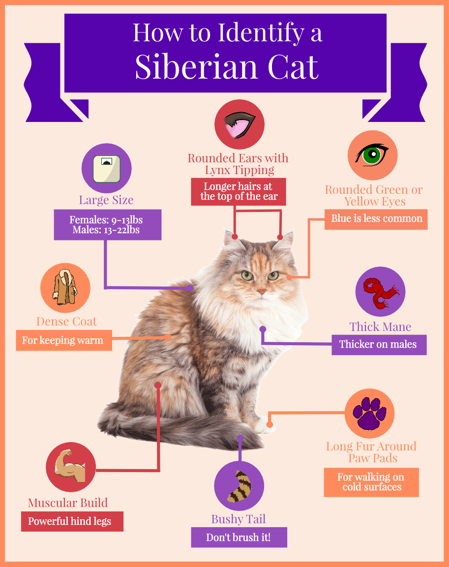 How to Identify a Siberian Cat