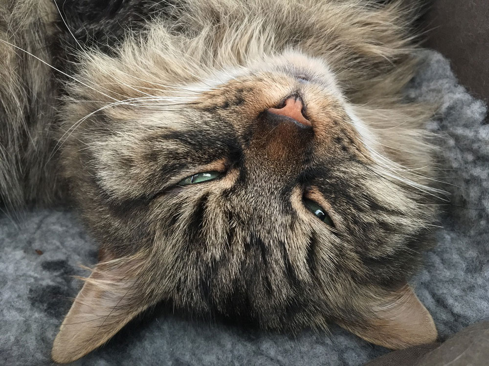 Caring for Your Senior Siberian