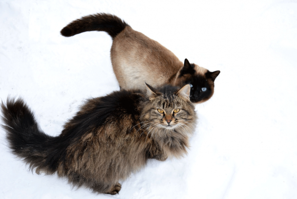 Introducing a new cat to your resident Siberian