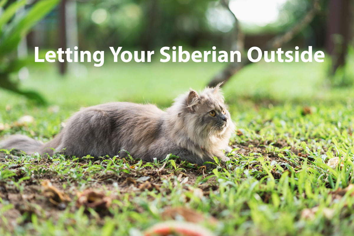 Letting your Siberian Outside