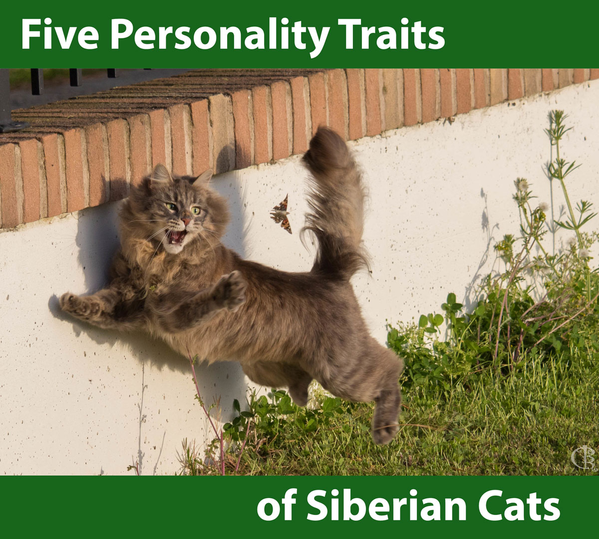 Personality Traits of Siberian Cats