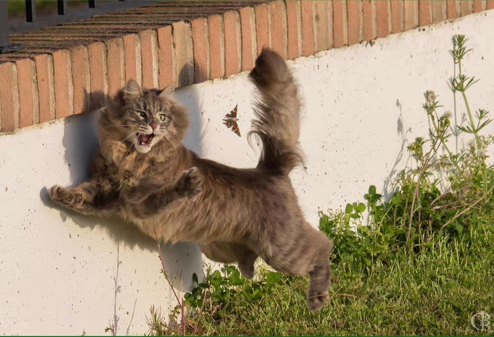 Five Personality Traits of the Siberian Cat
