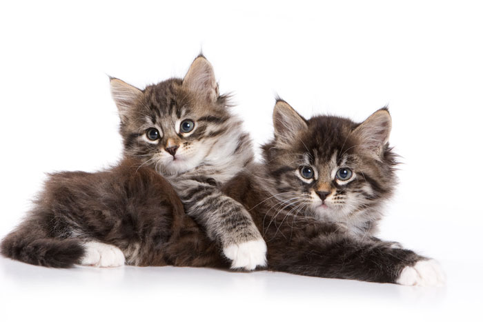A Brief History of the Siberian Cat