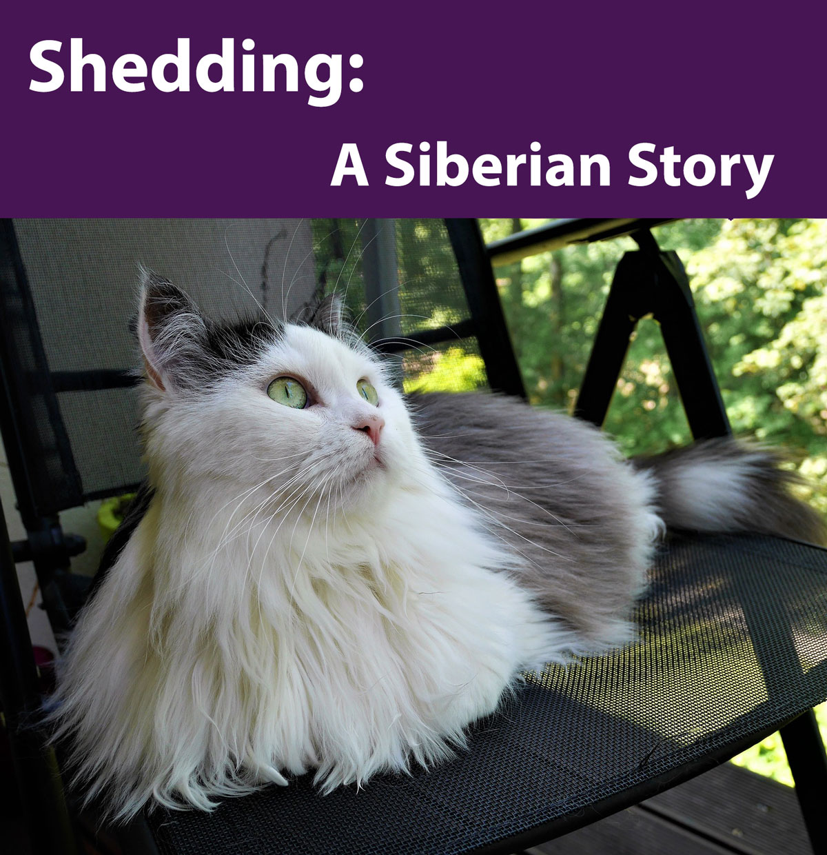 Siberian Cats and Shedding - Siberian Cats